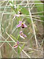 SN1548 : A Bee Orchid (Ophrys apifera) taken at Poppit Sand Dunes by Ian Knox