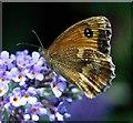 SK5243 : Gatekeeper (Pyronia Tithonus) underside by Lynne Kirton