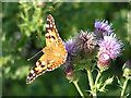 SK1681 : Painted Lady on Creeping Thistle by Dave Dunford