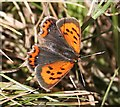 NO7048 : Small Copper Butterfly (Lycaena phlaeas) by Anne Burgess