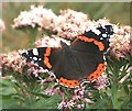 NO7048 : Red Admiral Butterfly (Vanessa atalanta) by Anne Burgess