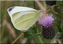 NO7048 : Small White Butterfly (Pieris rapae) by Anne Burgess