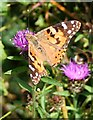 SX1558 : Painted Lady Butterfly by Tony Atkin