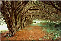S9160 : The yew walk, Huntington Castle, Clonegal, Co. Carlow by Humphrey Bolton
