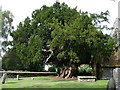 TQ9656 : Ancient yew tree by Penny Mayes
