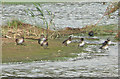 SK8807 : Gadwall ducks on Rutland Water by Kate Jewell