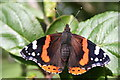 SO9463 : Red Admiral, The Orchard, Hanbury Hall by Bob Embleton