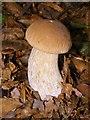 SU3306 : Boletus fungus in Denny Wood, New Forest by Jim Champion