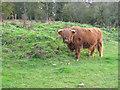 TQ4892 : Highland cow at Foxburrows Farm by Peter Wyatt