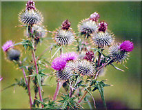 NS3778 : Scotch Thistle by Stanley Howe