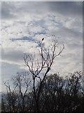 NT2774 : Jackdaw by Adam Ward