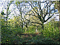 ST8308 : Hazel coppice with oak standards Hillcombe Coppice Dorset by Clive Perrin