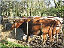 SJ4093 : Rare Irish Moiled Cows at Croxteth by Sue Adair