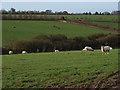 SU8181 : Sheep near Warren Row by Andrew Smith