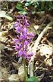 SU0421 : Wild Orchid by Maigheach-gheal