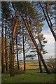 SU0417 : Looking through Pines from Penbury Knoll by Simon Barnes