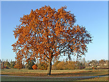 TQ3095 : Scarlet Oak in Oakwood Park, N14 by Christine Matthews