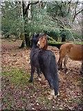 SU2609 : Grooming ponies by Hugh Venables