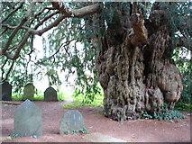 SX7962 : Yew Tree in Dartington Hall Gardens by Judith Green