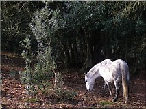 SU2609 : Pony in Wick Wood, New Forest by Jim Champion