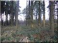 NZ1848 : Mature spruce trees, Burnhope Pond Plantation by brian clark