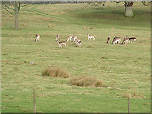 NY4726 : Deer on the Dalemain Estate by Geoff Gill