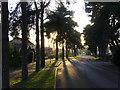 TF2063 : Backlit Trees On Woodland Drive by Tony Bacon