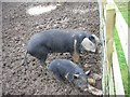 TL0876 : Pigs in Mud by Will Lovell