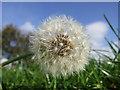 NT9333 : Dandelion Seeds by Ian Hindmarsh