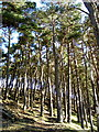 NS9321 : Pine Covered Hillside Near Crawford by Iain Thompson
