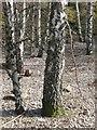 NN6359 : Birch on a beach by Richard Webb