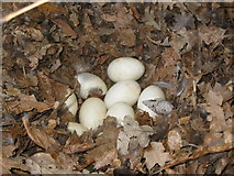 SX0877 : Duck eggs by Phil Williams