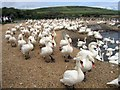 SY5784 : The Swannery at Abbotsbury by M Etherington
