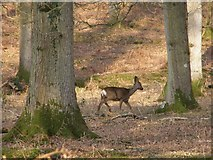 SU2115 : Roe deer in Islands Thorns Inclosure, New Forest by Jim Champion