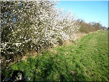 NZ3427 : Blackthorn blossom, Mordon Moor Farm by Oliver Dixon