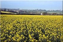 SU0017 : Sixpenny Handley & early spring Rape field by Simon Barnes