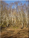 SE1223 : Ghostly birches, Cromwell Wood, Southowram by Humphrey Bolton