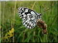 TR2843 : Marbled white butterfly by Adam Hincks
