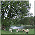 SO7892 : Sheep, Trees and Pool, near Claverley, Shropshire by Roger  Kidd