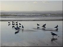 SM8513 : Gulls Little Haven beach by Chris Gunns