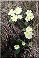 NM4097 : Primrose (Primula vulgaris) by Anne Burgess
