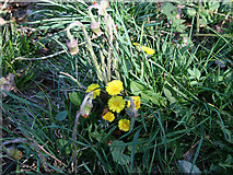 TF0626 : Coltsfoot by Kate Jewell
