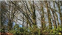 SH7770 : Trees by Alan Walker
