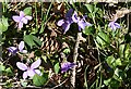 NJ3649 : Violets by Anne Burgess