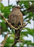 SU0017 : Hedge Sparrow by Simon Barnes