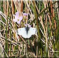NJ3444 : Orange Tip Butterfly (Anthocharis cardamines) by Anne Burgess