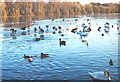 SJ7371 : The thaw sets in at Shakerley Mere by Pauline E