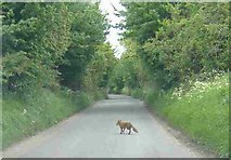 ST7772 : Fox, crossing Ashwicke Road by Roger Cornfoot