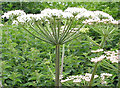 SO6426 : Angelica plant by Pauline E