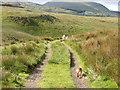 SH7818 : Track with sheep by liz dawson